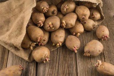 подготовка семян картофеля к посадке