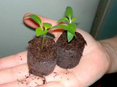 как вырастить рассаду в торфяных таблетках