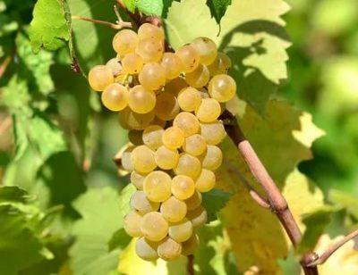 что такое технический сорт винограда