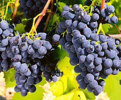 виноград рошфор описание сорта