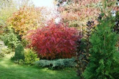 уход за барбарисом осенью