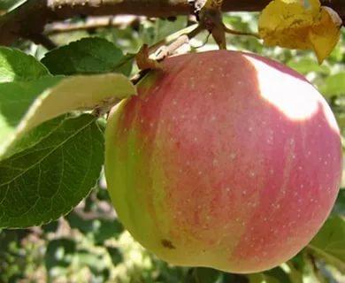 сорт яблони брусничное