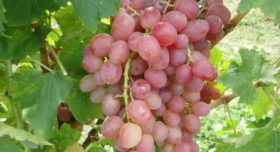 виноград ливия описание сорта