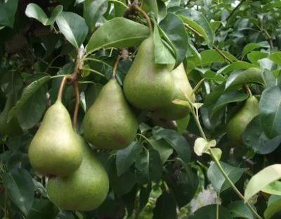 сорта груш осенние