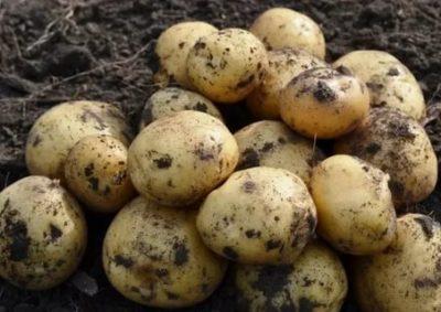 сорта картофеля для харьковской области