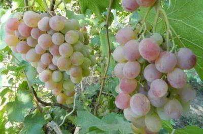 сорт винограда фламинго