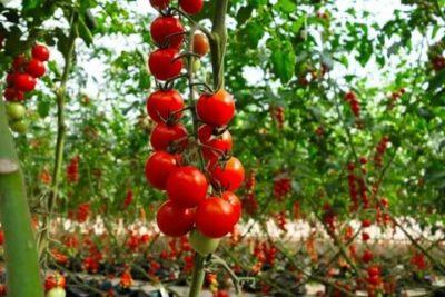 уход за помидорами черри