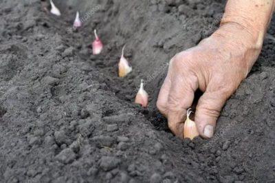 как правильно посадить озимый чеснок осенью