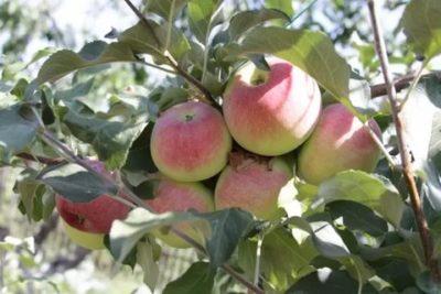 сорта яблонь для волгоградской области