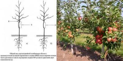 как посадить карликовую яблоню