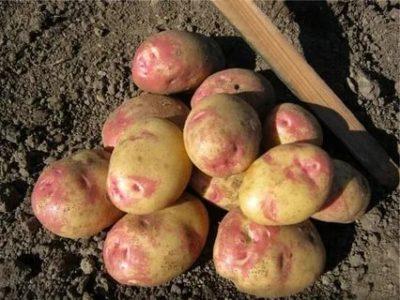 сорта картофеля для удмуртии