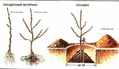 как посадить облепиху осенью