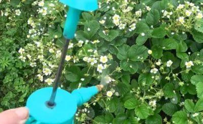 опрыскивание клубники во время цветения борной кислотой