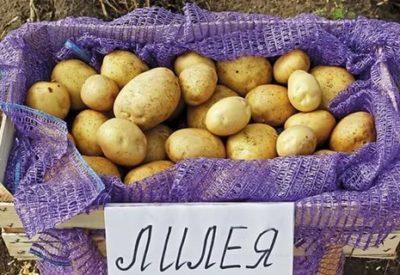 сорт картофеля лилея