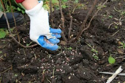 удобрение для кустарников весной