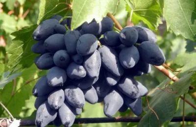 сорт винограда ромбик