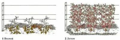 кустовая малина уход и размножение