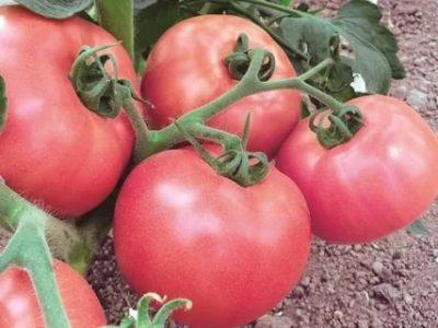 лучшие сорта томатов для черноземья