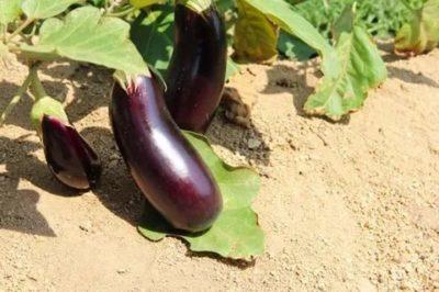 баклажаны семена для сибири