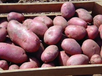 сорт картофеля фантазия