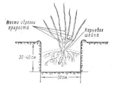 посадка крыжовника весной саженцами