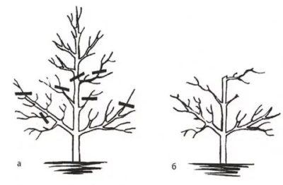 как обрезать грушу если ветки растут вверх