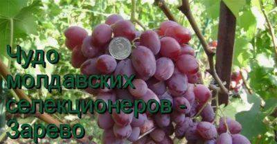сорт винограда зарево