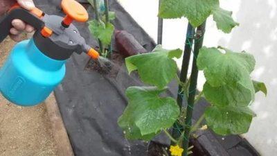 можно ли поливать огурцы по листьям