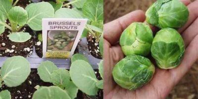 когда сеять брюссельскую капусту на рассаду