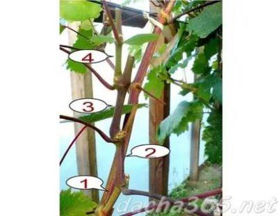 пасынкование винограда весной