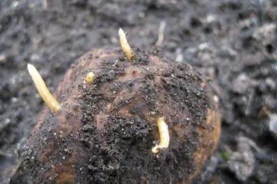 как избавиться от проволочника на огороде весной