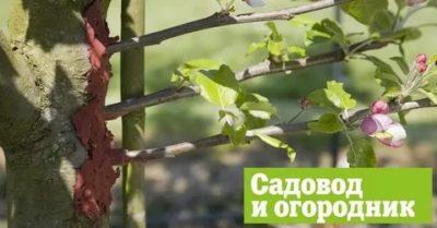 прививка летом яблони
