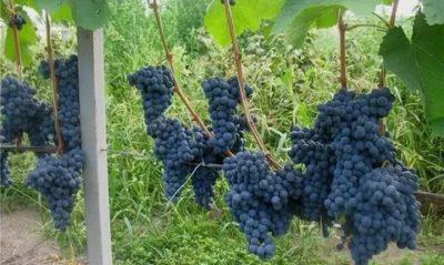 сорт винограда мукузани