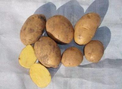 сорт картофеля маделина