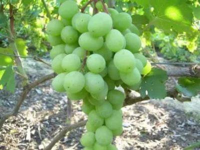 сорт винограда алекса