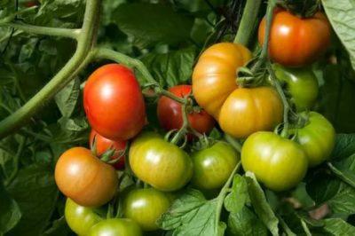 сорт помидор загадка