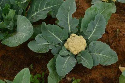 чем удобрять цветную капусту