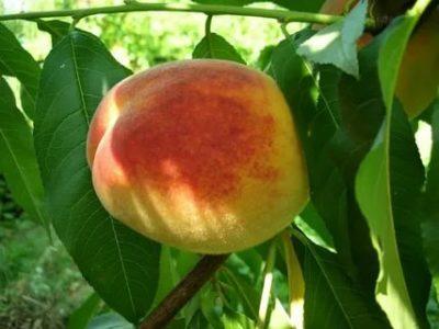 персик ранний сорта
