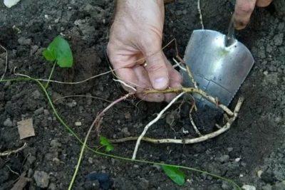 как вывести березку с огорода