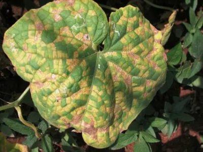 ржавчина на листьях огурцов как избавиться