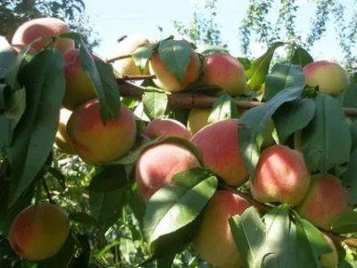 сорт персика вайн голд