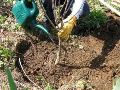 полив вишни весной