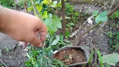 прививка винограда черное в черное