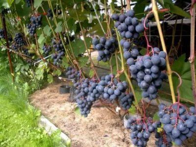 сорт винограда юодупе