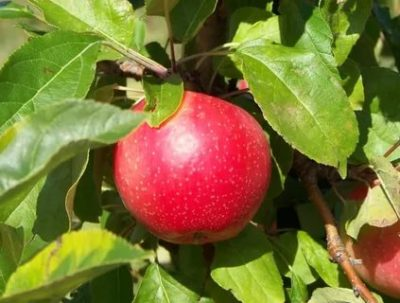 сорт яблок пепин