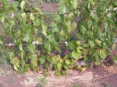 виноград не плодоносит что делать