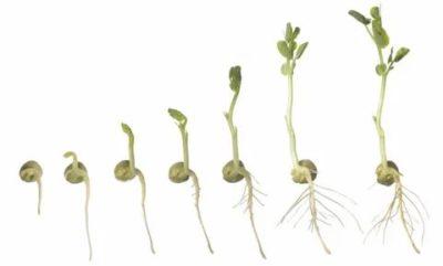 прорастание семян гороха
