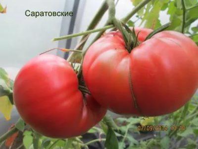 сорта томатов для саратовской области