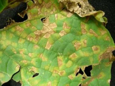 коричневые пятна на листьях огурцов что делать