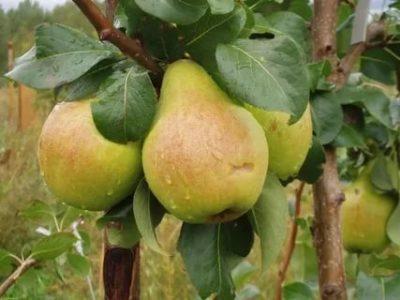 сорта груш для волгоградской области